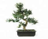 Bonsai Tree House Plant