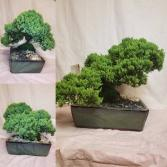 Bonsai Tree - Juniper Green plant