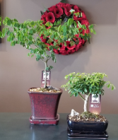 Bonsai Tree Plant