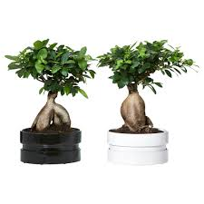 Bonsai tree Plant in Newmarket, ON | FLOWERS 'N THINGS FLOWER & GIFT SHOP