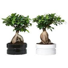Bonsai tree Plant