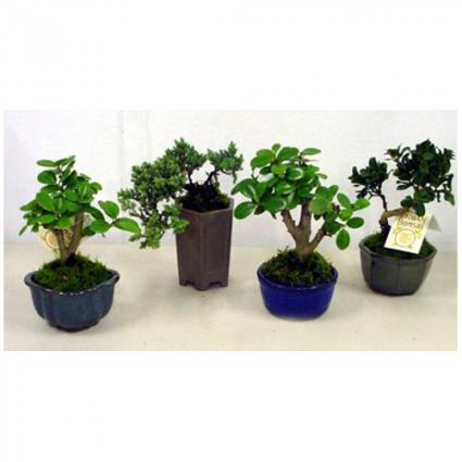 Bonsai Trees Plants