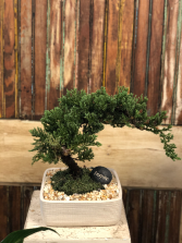 Bosnia Tree