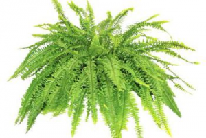 Boston Fern Green Plant in Springfield, MO | FLOWERAMA #142