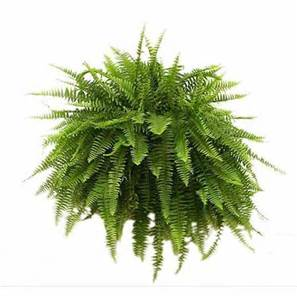 Boston Fern Hanging Basket  in Osceola Mills, PA | COLONIAL FLOWER & GIFT SHOP