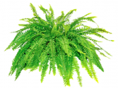 Boston Fern  Other options available