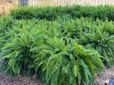 Boston Ferns  Outdoor Plants
