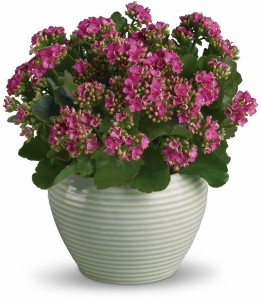 Bountiful Kalanchoe H912A