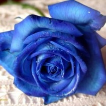 Box: Blue Roses Rose