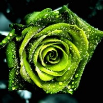 Box: Premium Green Rose
