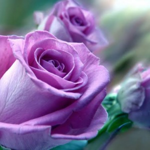 Box: Lavender Roses Rose