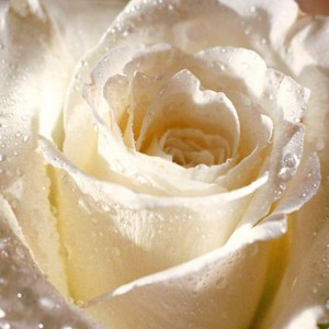 Box: Premium White Rose