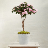 Braided Azalia Plant