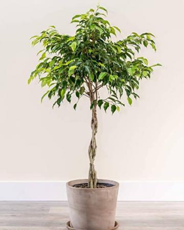 Braided Benjamina Ficus Tree