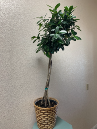 Braided Ficus Tree Plant