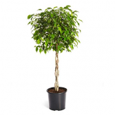 Braided Ficus Tree Tall House Plant