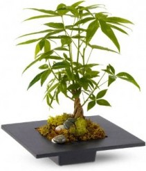 BRAIDED MONEY TREE PLANT ***LOCAL DELIVERY ONLY***