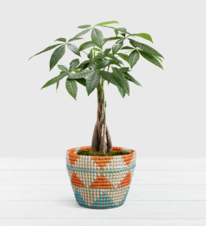 Braided Money Tree .WGP1602-N