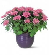 Brilliant Mums Potted Plant, Fall, Halloween