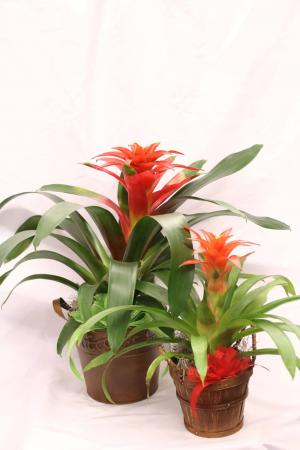 Bromelaid Plant  Blooming Plant in a metal container in Bend, OR | AUTRY'S 4 SEASONS FLORIST