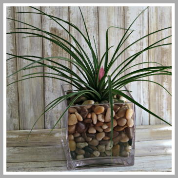 Pink Quill Bromeliad Air Plant