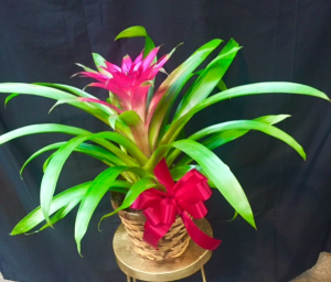 Bromeliad  in Rensselaer, IN | JORDAN'S