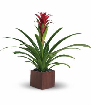 Bromeliad Beauty Container varies in Winnipeg, MB | KINGS FLORIST LTD