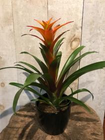 Bromeliad Flowering Plant