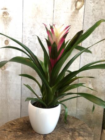 SPECIAL Bromeliad Flowering Plant