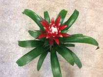 Bromeliad flowering plant Bromeliad