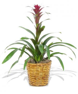 Bromeliad Green Plant in Tulsa, OK | THE WILD ORCHID FLORIST