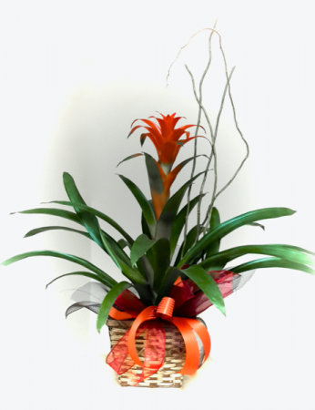 Bromeliad Guzmania Blooming Plant