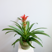 Bromeliad *Local Delivery Only*