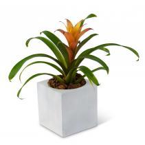 Bromeliad Mini Plant