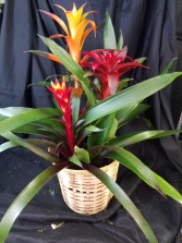 Large Bromeliad, Two to Three Blooms