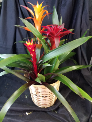 Large Bromeliad, Two to Three Blooms  in Clearwater, FL | FLOWERAMA