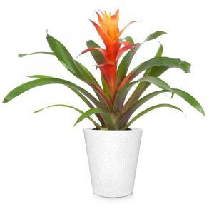 BROMELIAD PLANT in Coconut Grove, FL | Luxury Flowers