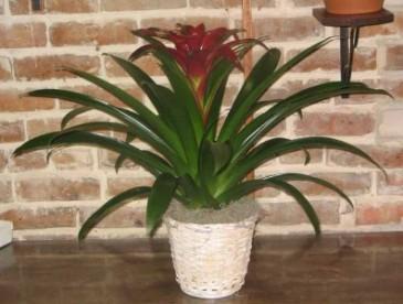 Bromeliad Bromeliad Plants