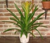 Bromeliad Plant Bromeliad Plants