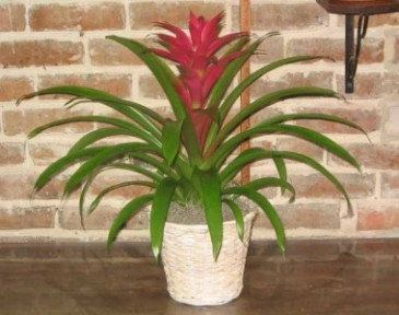 Bromeliad Plant/MD5 Bromeliad Plants