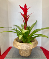 Bromeliad Plant **COLORS MAY VARY**