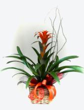 Bromeliad Plant Plants