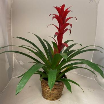 Bromeliad Planter