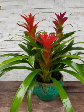Bromeliad Planter Plant