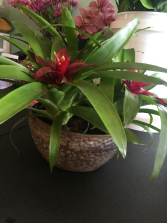 Bromeliad Plants Long Living blooming plants