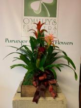 Bromeliad Tray Plant