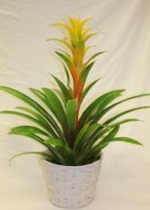 Bromeliad Blooming Plant
