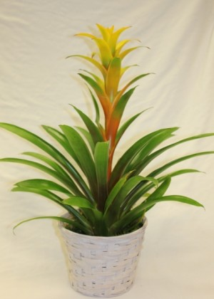 Bromeliad Blooming Plant in Saint Simons Island, GA | A COURTYARD FLORIST