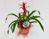 Bromeliads Plant Bromeliads Plant