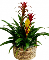 Bromeliads Three Bromeliads in a Woven Handled Basket